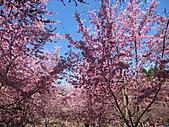 武陵農場--2011櫻花篇:武陵農場--櫻花篇 037.jpg