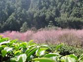 2014武陵櫻花篇:2014 131.jpg