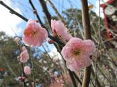 2014武陵櫻花篇:2014 041.jpg