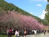 2014武陵櫻花篇:2014 194.jpg
