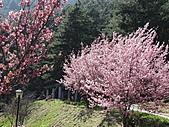 武陵農場--2011櫻花篇:武陵農場--櫻花篇 069.jpg