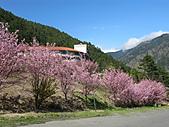 武陵農場--2011櫻花篇:武陵農場--櫻花篇 086.jpg