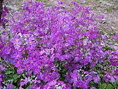 武陵農場--2011櫻花篇:武陵農場--櫻花篇 141.jpg