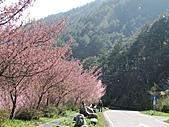 武陵農場--2011櫻花篇:武陵農場--櫻花篇 090.jpg