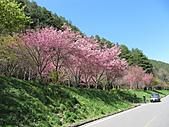 武陵農場--2011櫻花篇:武陵農場--櫻花篇 028.jpg