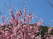 武陵農場--2011櫻花篇:武陵農場--櫻花篇 039.jpg