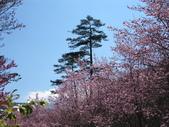 2014武陵櫻花篇:2014 085.jpg