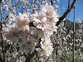 武陵農場--2011櫻花篇:武陵農場--櫻花篇 071.jpg