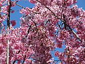 武陵農場--2011櫻花篇:武陵農場--櫻花篇 036.jpg