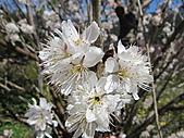 武陵農場--2011櫻花篇:武陵農場--櫻花篇 076.jpg
