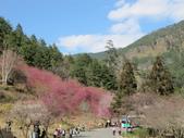 2014武陵櫻花篇:2014 185.jpg