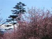 2014武陵櫻花篇:2014 084.jpg