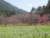 2014武陵櫻花篇:2014 056.jpg