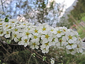 武陵農場--2011櫻花篇:武陵農場--櫻花篇 154.jpg