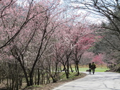 2014武陵櫻花篇:2014 052.jpg