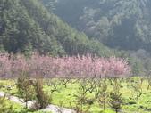 2014武陵櫻花篇:2014 004.jpg