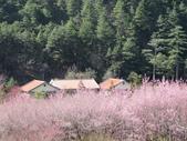 2014武陵櫻花篇:2014 136.jpg