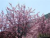 武陵農場--2011櫻花篇:武陵農場--櫻花篇 054.jpg