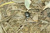 鷂婆山探險日記:糞金龜