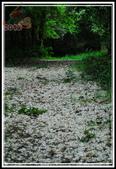 三義‧桐花:20120421_桐花_三義伯公坑 (233).JPG