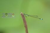 蜻蜓:20170420_青紋細蟌_水生池_合作小(9).JPG