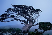 高山湖泊-嘉明湖:向陽山途中一棵老香青(玉山圓柏)
