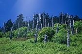 百岳-雪山:雪山白木林