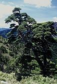 百岳-大霸尖山:小霸尖山旁一棵樹