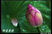 荷花-新屋蓮園:IMG_8080.jpg