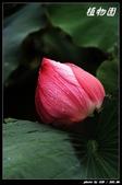 荷花-植物園:IMG_7876.jpg