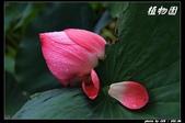 荷花-植物園:IMG_7896.jpg
