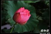 荷花-植物園:IMG_7922.jpg