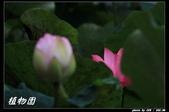 荷花-植物園:IMG_7870.jpg
