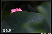 荷花-植物園:IMG_7881.jpg