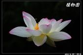 荷花-植物園:IMG_7950.jpg
