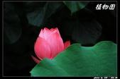 荷花-植物園:IMG_8007.jpg