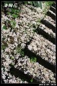 宜蘭油桐花:IMG_3708.jpg