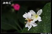 宜蘭油桐花:IMG_3710.jpg