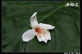 宜蘭油桐花:IMG_3711.jpg