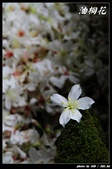 宜蘭油桐花:IMG_3713.jpg