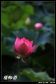 荷花-植物園:IMG_7900.jpg