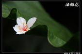 宜蘭油桐花:IMG_3726.jpg
