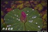 荷花-新屋蓮園:IMG_8135.jpg
