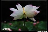 荷花-植物園:IMG_7909.jpg