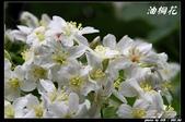 宜蘭油桐花:IMG_3734.jpg