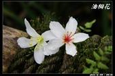 宜蘭油桐花:IMG_3741.jpg