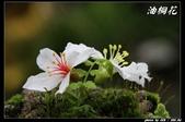 宜蘭油桐花:IMG_3745.jpg