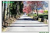 新春南投賞櫻行:IMG_2652.JPG