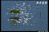 荷花-觀音蓮園:IMG_89771.jpg