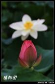 荷花-植物園:IMG_8008.jpg